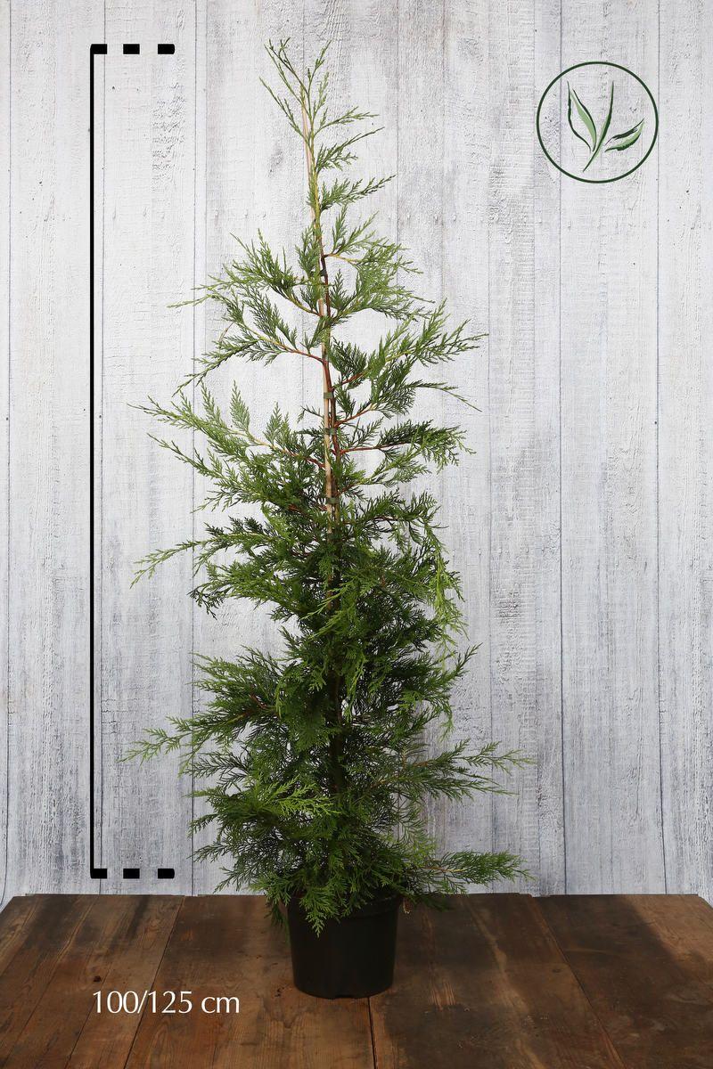 Grüne Bastardzypresse  Topf 100-125 cm Extra Qualtität