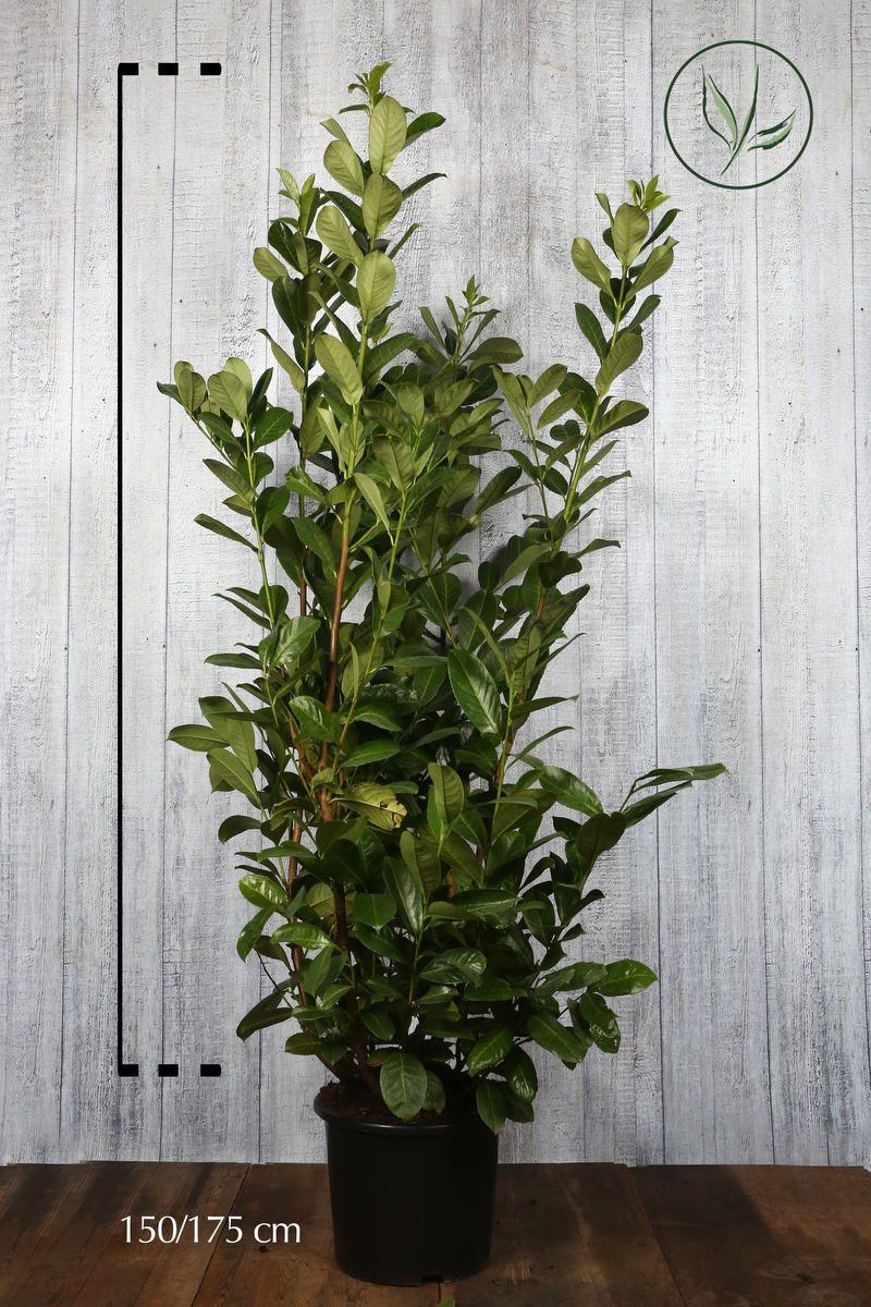 Grossblättriger Kirschlorbeer  Topf 150-175 cm