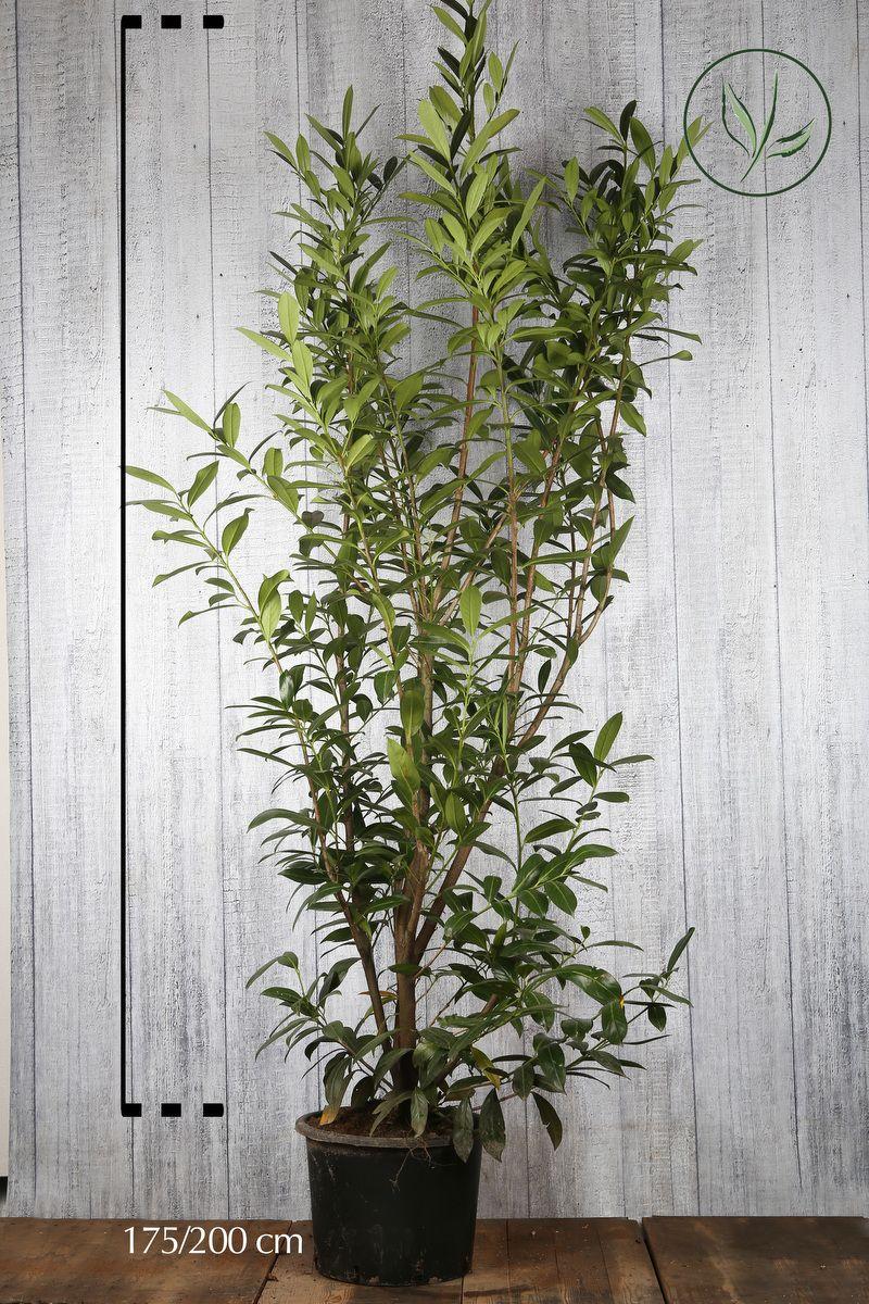 Kirschlorbeer 'Caucasica'  Topf 175-200 cm Extra Qualtität
