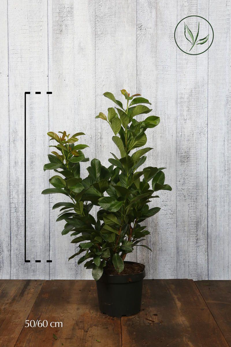 Kirschlorbeer Etna  Topf 50-60 cm