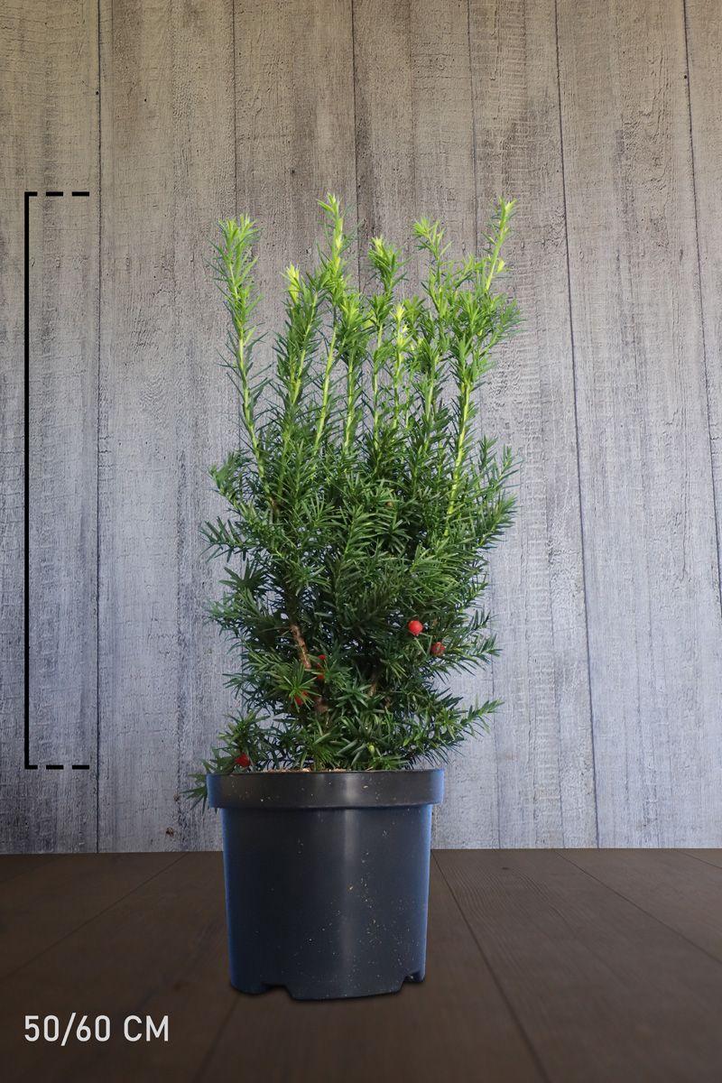 Fruchtende Becher-Eibe Topf 50-60 cm