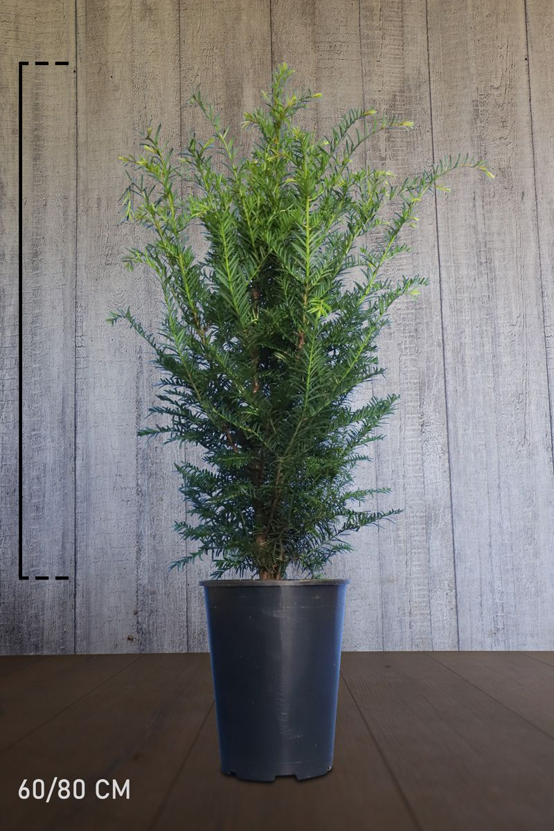 Fruchtende Becher-Eibe Topf 60-80 cm