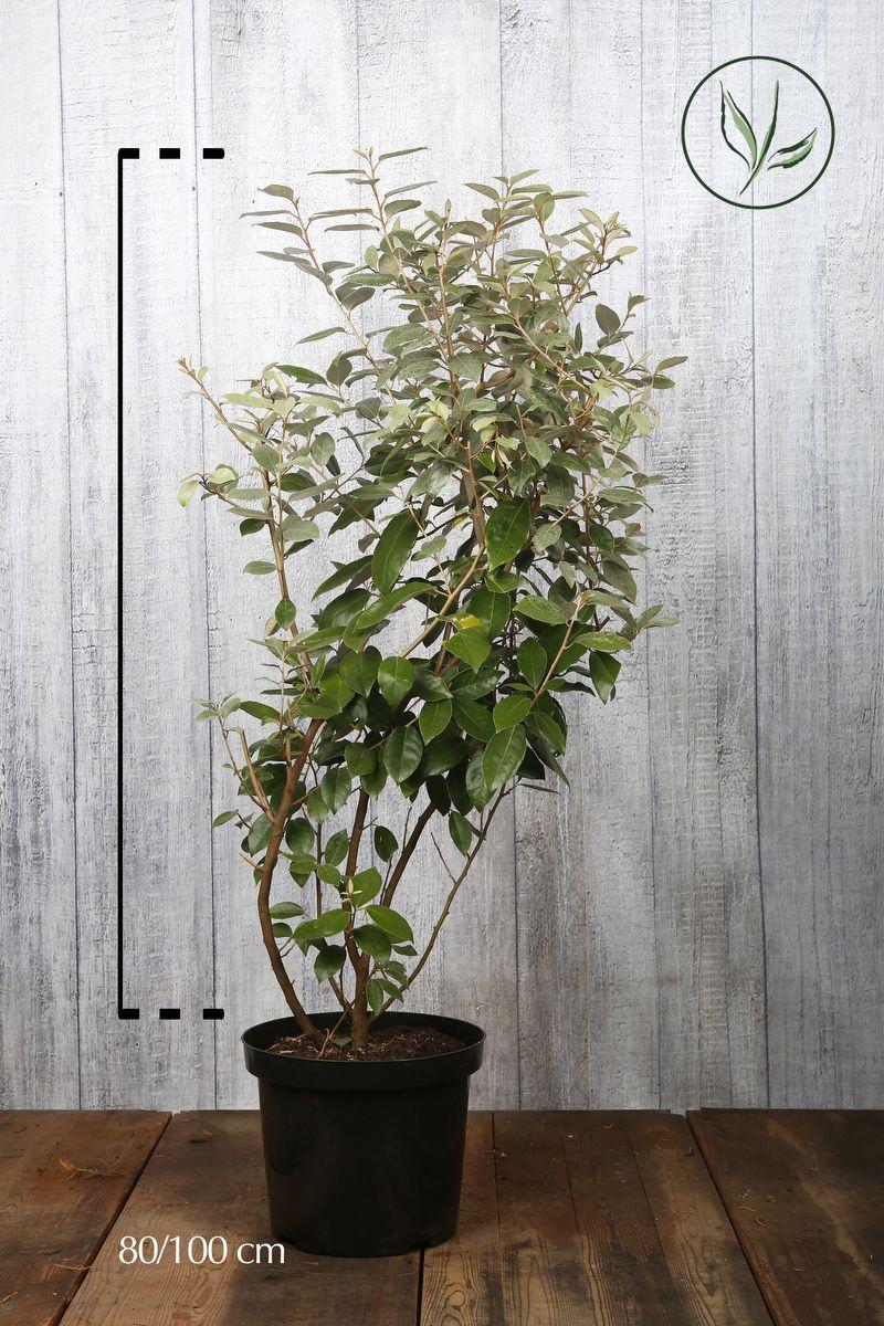 Wintergrüne Ölweide Topf 80-100 cm