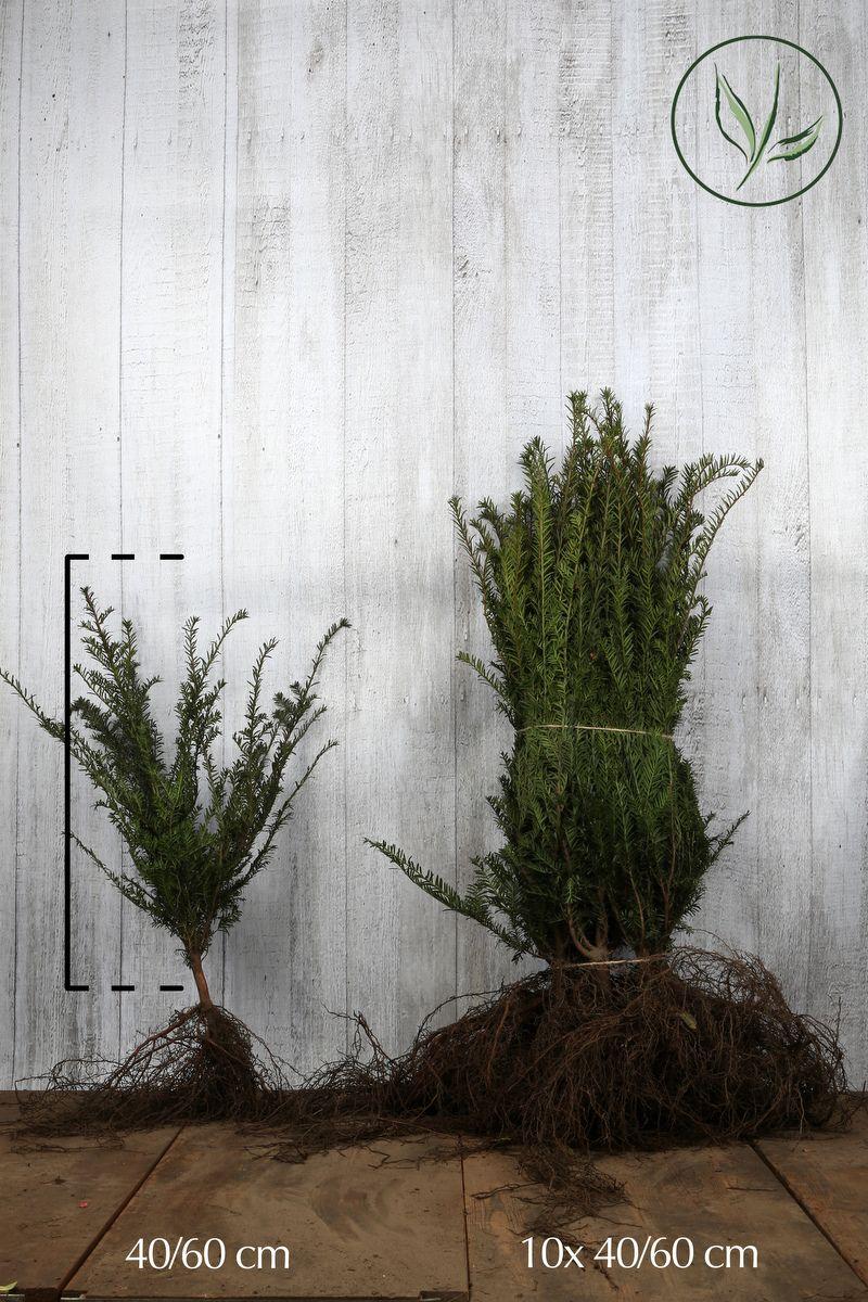 Gemeine Eibe Wurzelware 40-60 cm Extra Qualtität