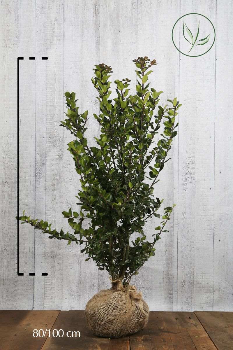 Stechpalme 'Blue Prince' Wurzelballen 80-100 cm Extra Qualtität