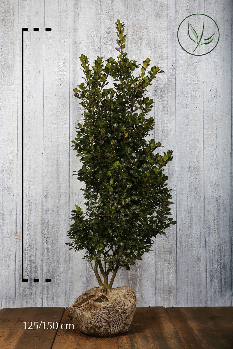 Stechpalme 'Blue Prince' Wurzelballen 125-150 cm