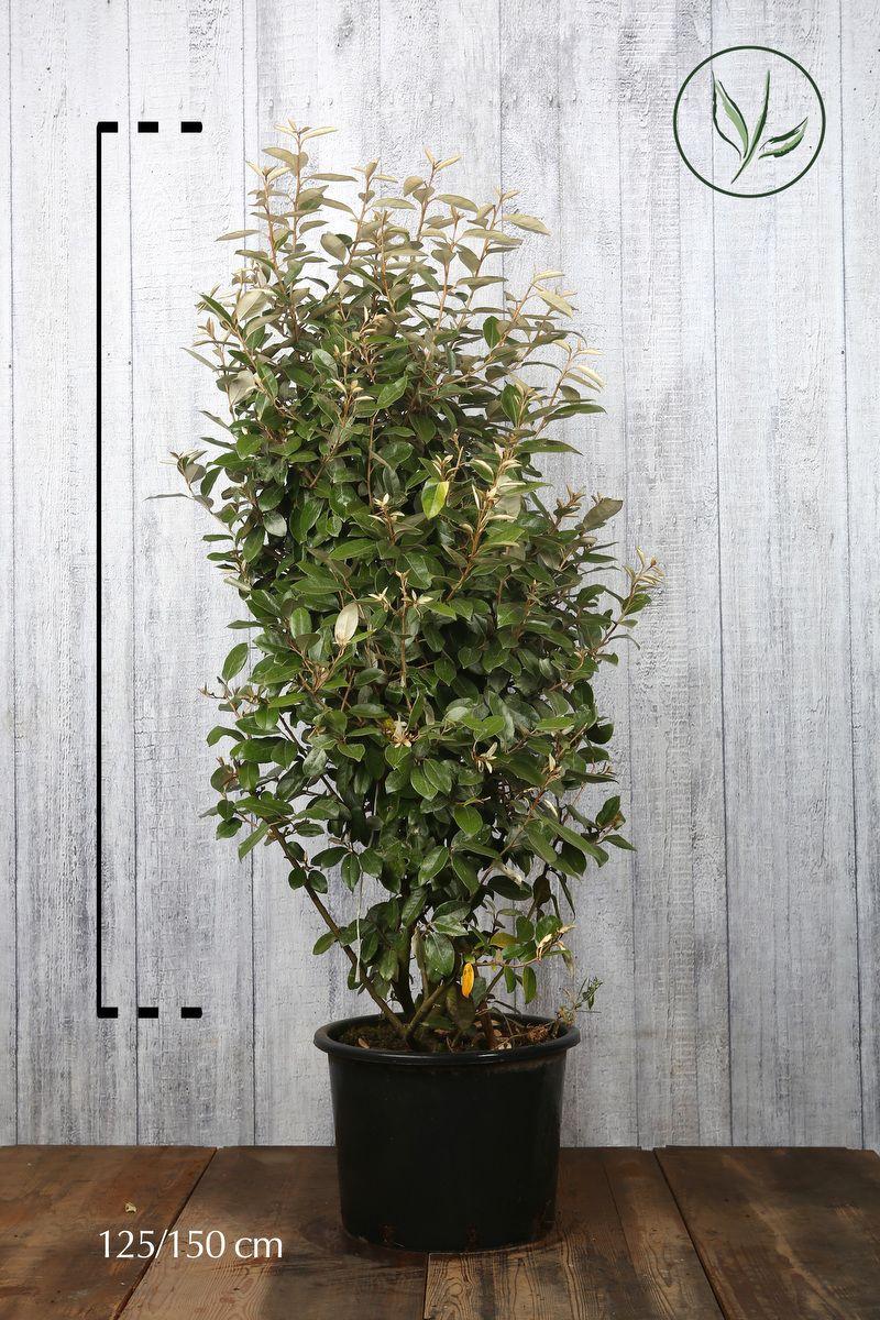 Wintergrüne Ölweide Topf 125-150 cm