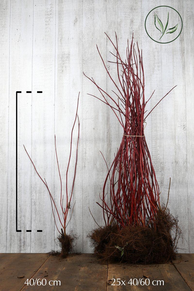 Rotholziger Hartriegel  Wurzelware 40-60 cm
