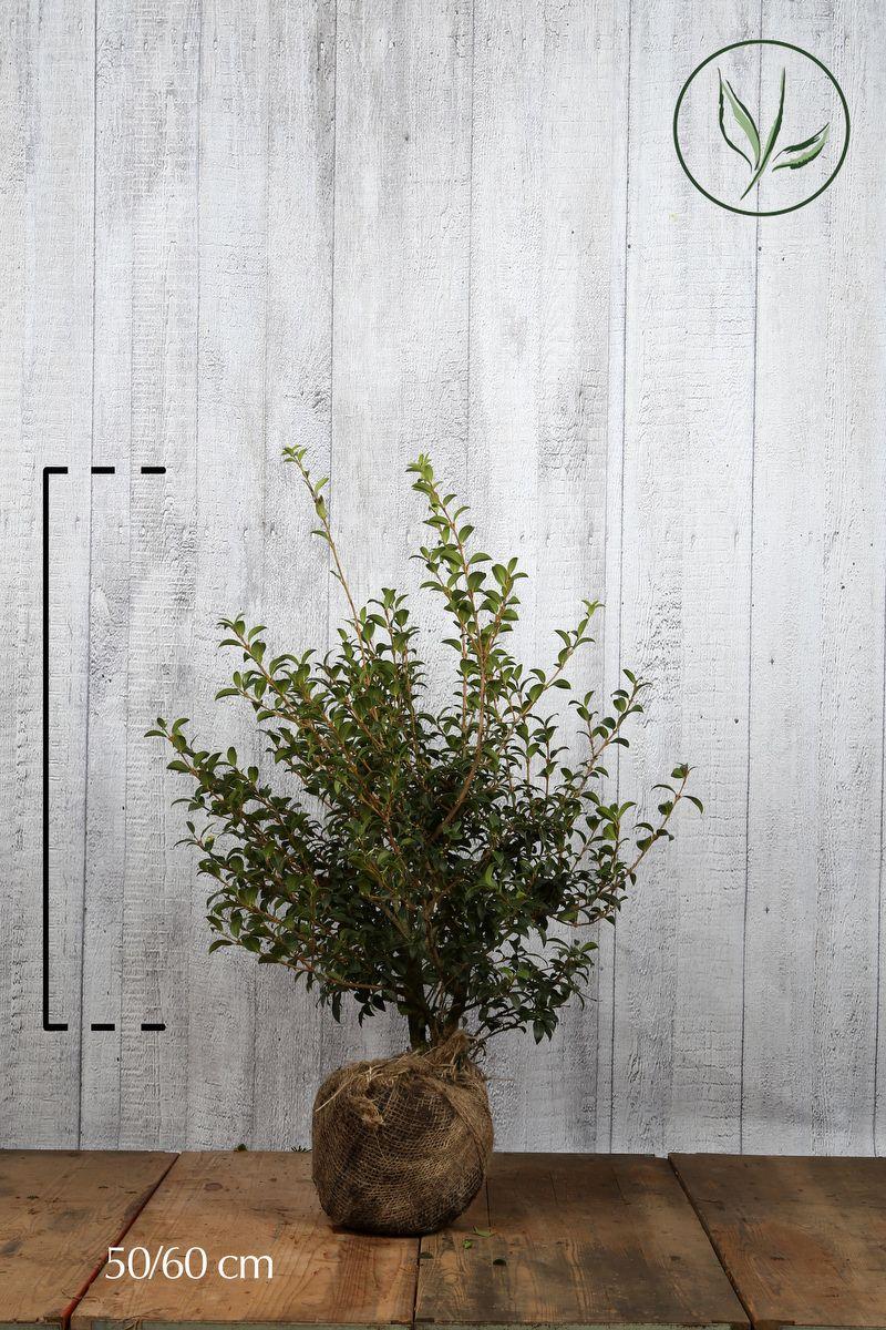 Burkwoods Duftblüte Wurzelballen 50-60 cm