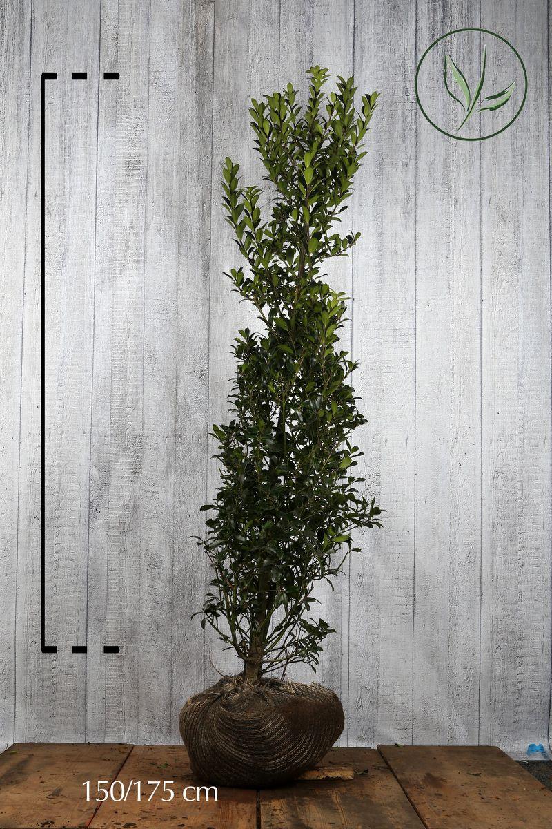Stechpalme 'Heckenpracht'  Wurzelballen 150-175 cm