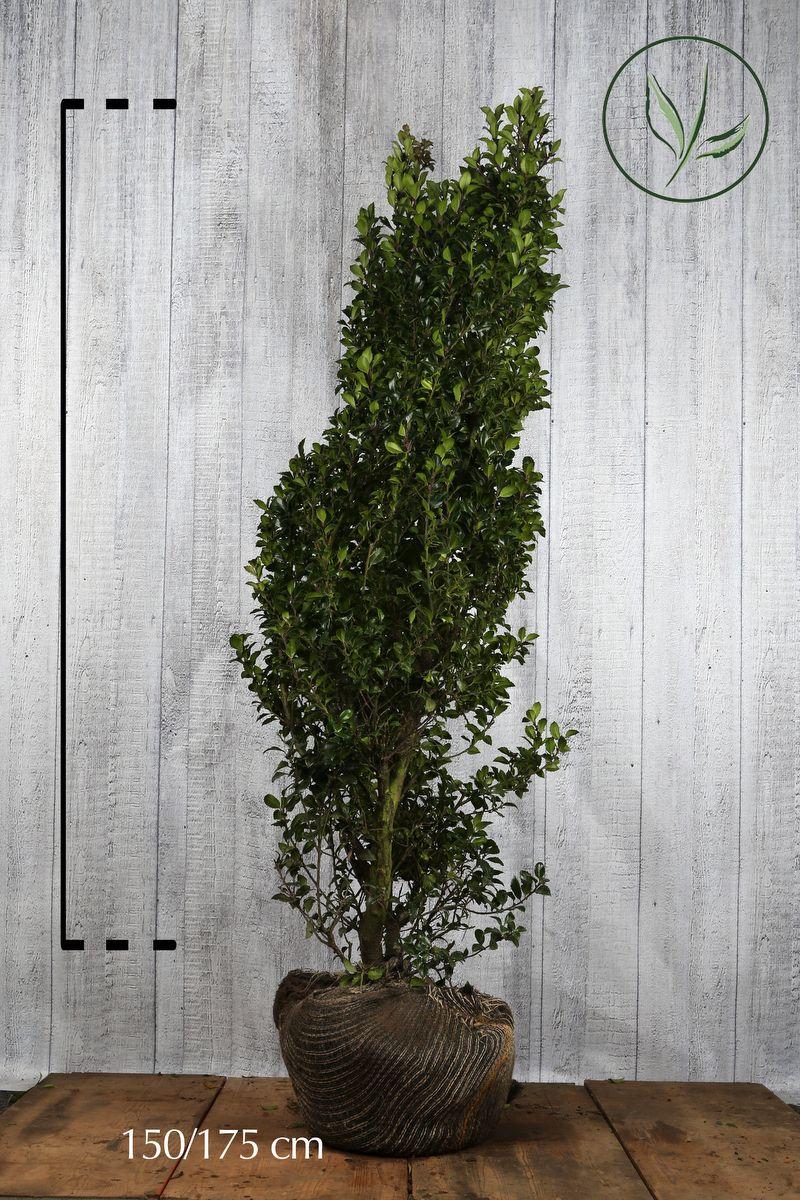 Stechpalme 'Heckenstar' Wurzelballen 150-175 cm