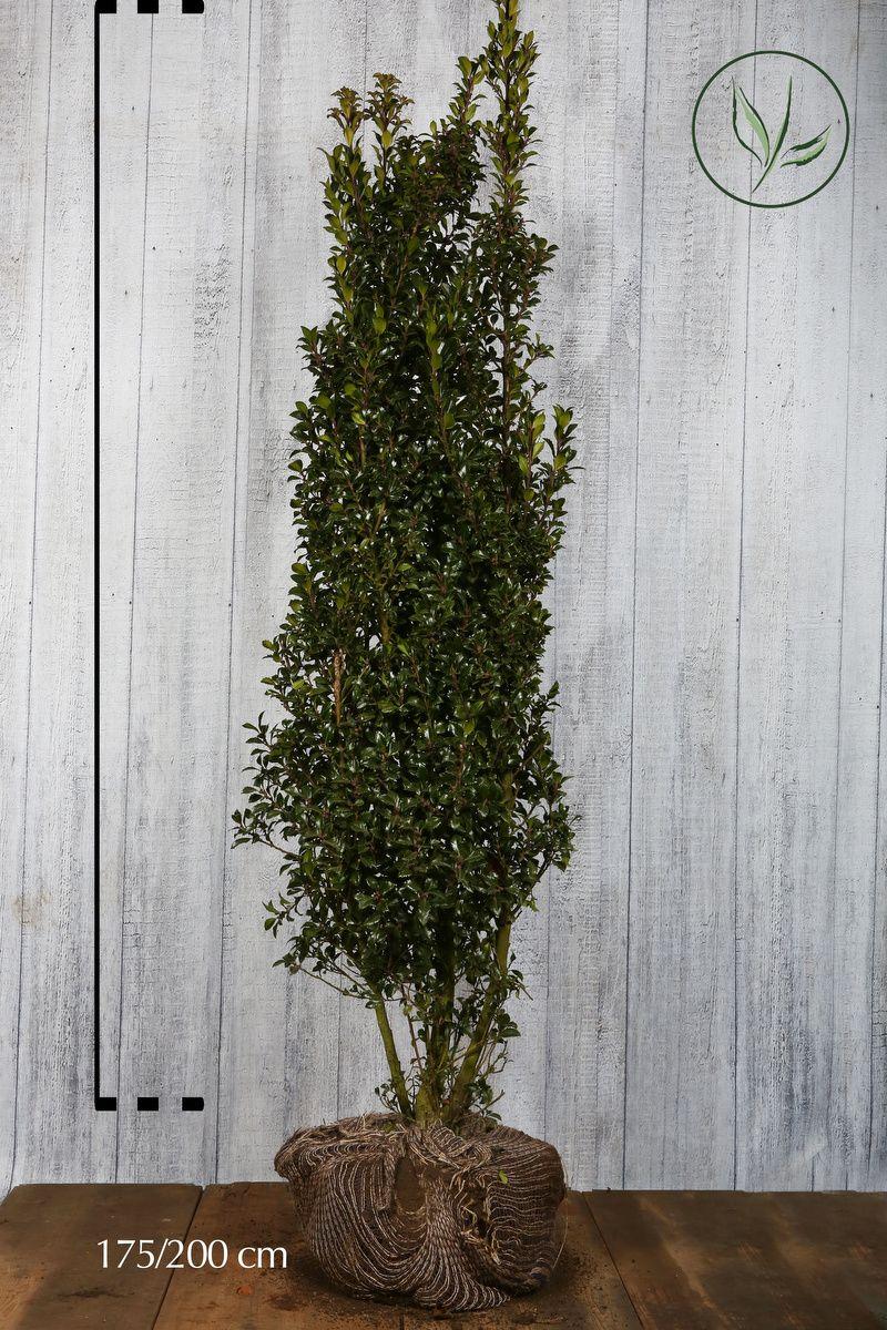 Stechpalme 'Heckenstar' Wurzelballen 175-200 cm