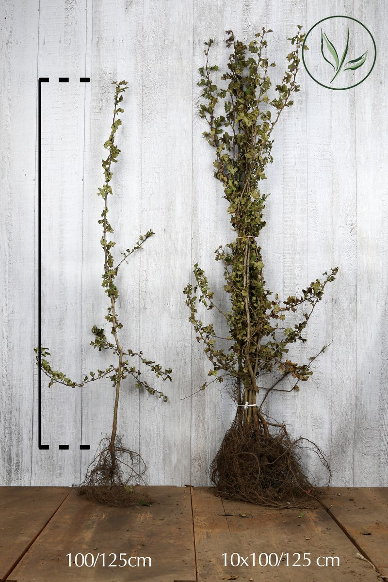 Eingriffeliger Weissdorn  Wurzelware 100-125 cm
