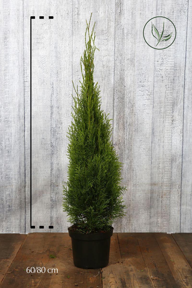Lebensbaum 'Smaragd'  Topf 60-80 cm Extra Qualtität