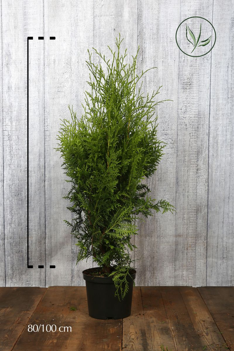 Lebensbaum 'Brabant' Topf 80-100 cm Extra Qualtität