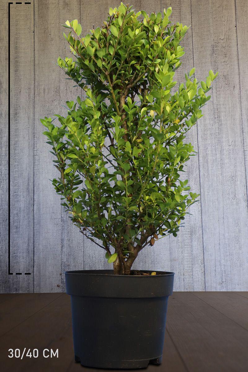 Japanische Stechpalme 'Dark Green'®  Im Container 30-40 cm