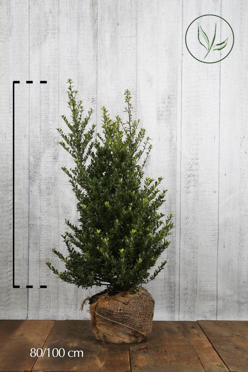 Japanische Stechpalme 'Dark Green'® Wurzelballen 80-100 cm