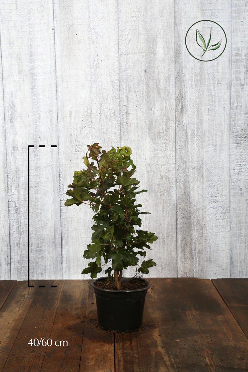 Feldahorn Topf 40-60 cm