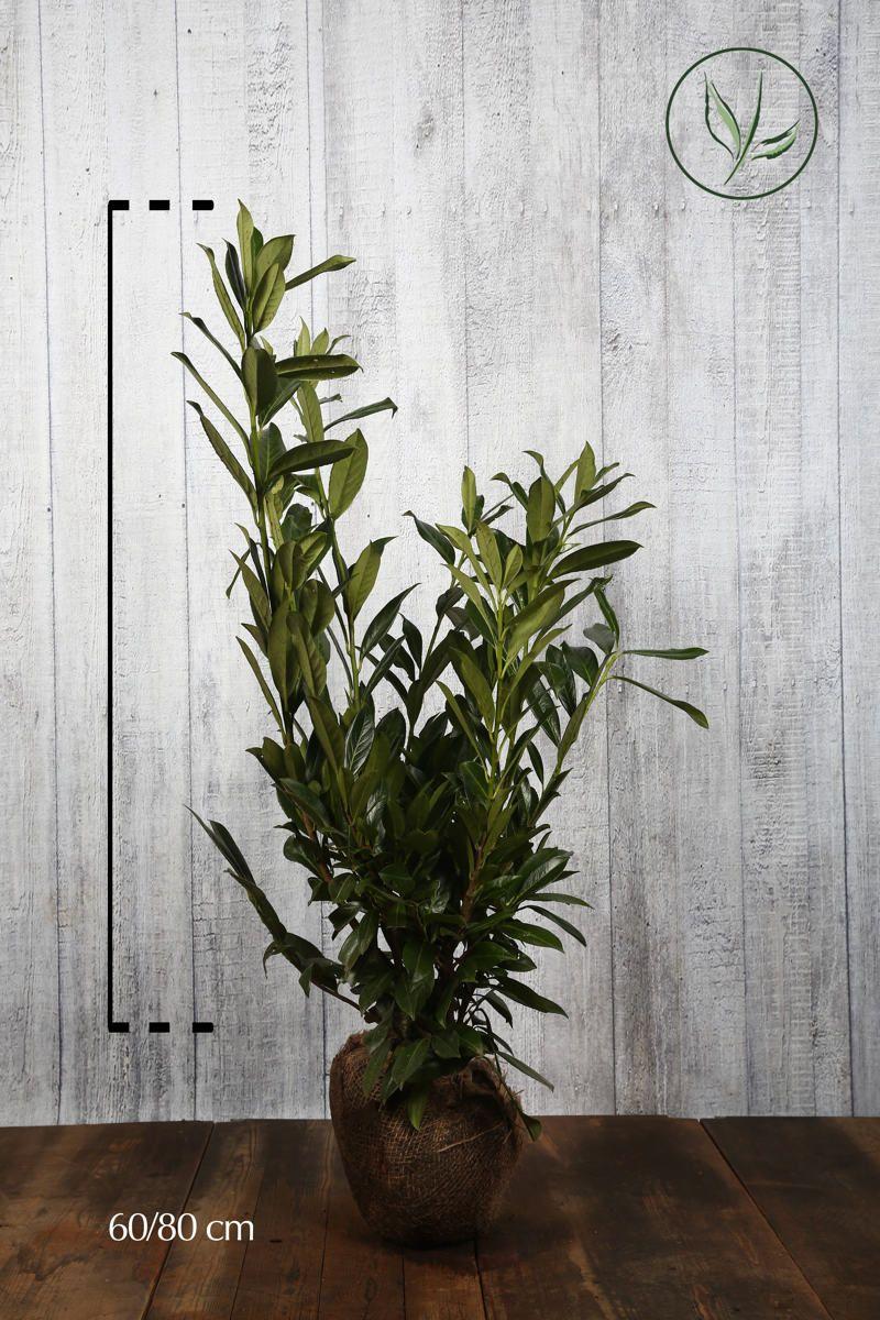 Kirschlorbeer 'Herbergii' Wurzelballen 60-80 cm