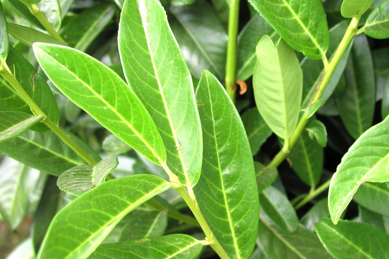 Kirschlorbeer 'Genolia'®