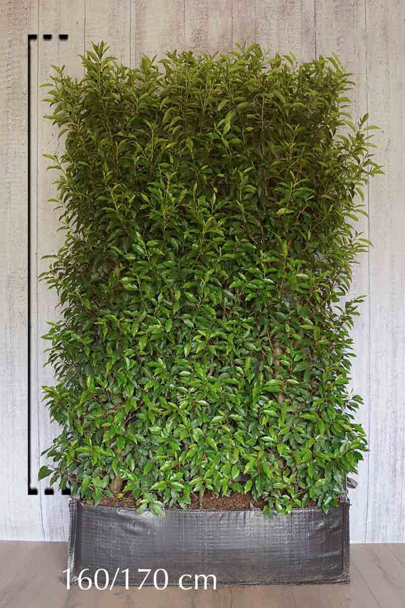 Portugiesischer Kirschlorbeer  Fertig-Hecken 160-170 cm Fertig-Hecken
