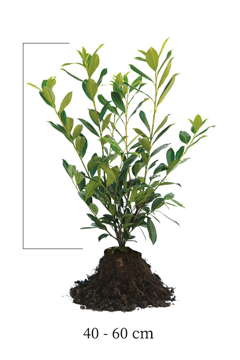 Kirschlorbeer 'Caucasica'  Wurzelware 40-60 cm