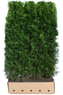 Lebensbaum 'Smaragd'  Fertig-Hecken 180-200 cm Fertig-Hecken