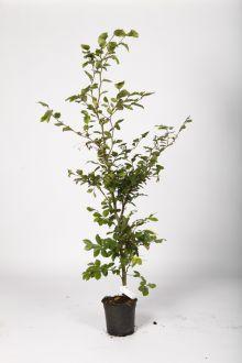 Rotbuche  Topf 100-125 cm