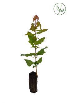Feldahorn Stecklinge aus der Anzuchtschale 20-40 cm Extra Qualtität