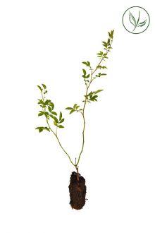 Heckenrose Stecklinge aus der Anzuchtschale 15-30 cm Extra Qualtität