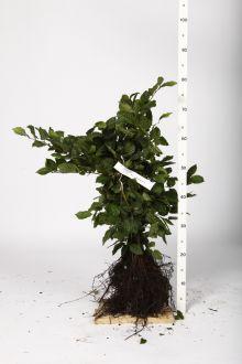 Hainbuche, Weissbuche  Wurzelware 40-60 cm