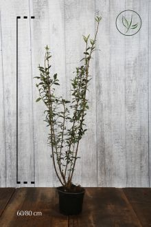 Wintergrüner Liguster 'Atrovirens' Topf 60-80 cm