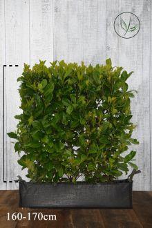 Grossblättriger Kirschlorbeer  Fertig-Hecken 160-170 cm Fertig-Hecken
