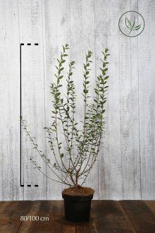 Wintergrüner Liguster 'Atrovirens' Topf 80-100 cm Extra Qualtität