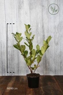 Grossblättriger Kirschlorbeer  Topf 60-80 cm