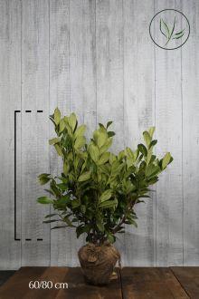 Grossblättriger Kirschlorbeer  Wurzelballen 60-80 cm