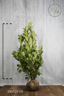 Grossblättriger Kirschlorbeer  Wurzelballen 100-125 cm Extra Qualtität