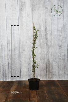 Feuerdorn 'Golden Charmer'  Topf 60-80 cm