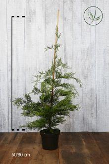 Grüne Bastardzypresse  Topf 60-80 cm Extra Qualtität