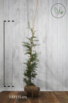 Grüne Bastardzypresse  Wurzelballen 100-125 cm