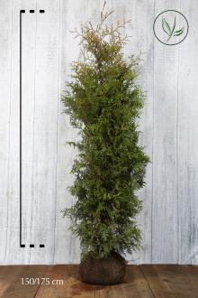 Lebensbaum 'Brabant' Wurzelballen 150-175 cm Extra Qualtität