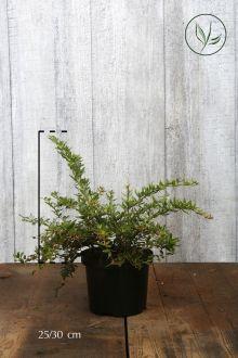 Immergrüne Kugelberberitze 'Amstelveen'  Topf 25-30 cm