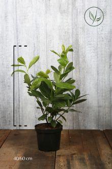 Grossblättriger Kirschlorbeer  Topf 40-60 cm