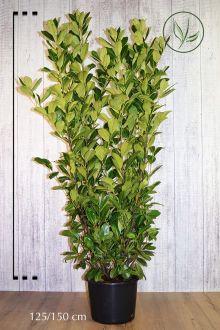 Grossblättriger Kirschlorbeer  Topf 125-150 cm Extra Qualtität