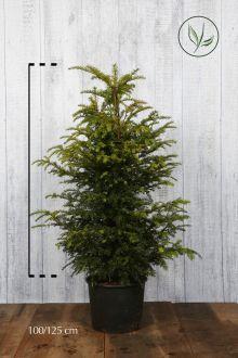 Gemeine Eibe Topf 100-125 cm
