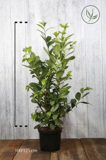 Grossblättriger Kirschlorbeer  Topf 100-125 cm
