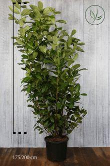 Grossblättriger Kirschlorbeer  Topf 175-200 cm