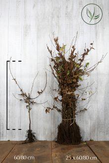 Hainbuche, Weissbuche  Wurzelware 60-80 cm