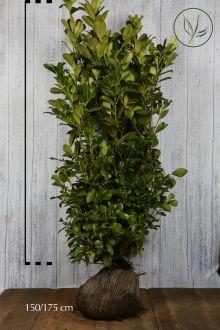 Grossblättriger Kirschlorbeer  Wurzelballen 150-175 cm Extra Qualtität
