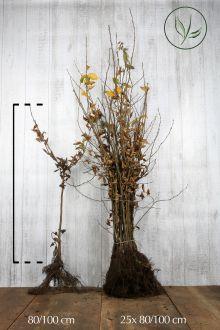 Hainbuche, Weissbuche  Wurzelware 80-100 cm Extra Qualtität